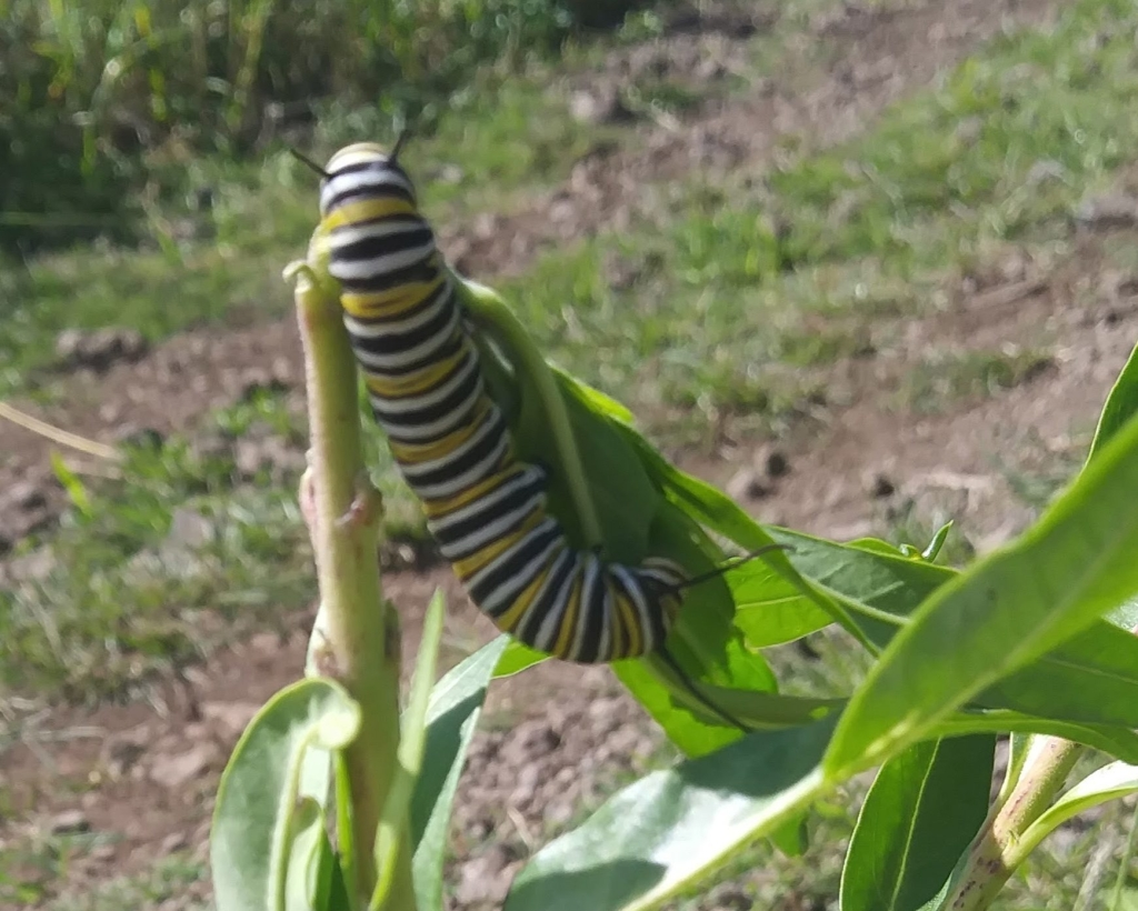A large yellow, black, and white striped caterpillar munches a leafy green milkweed plant.