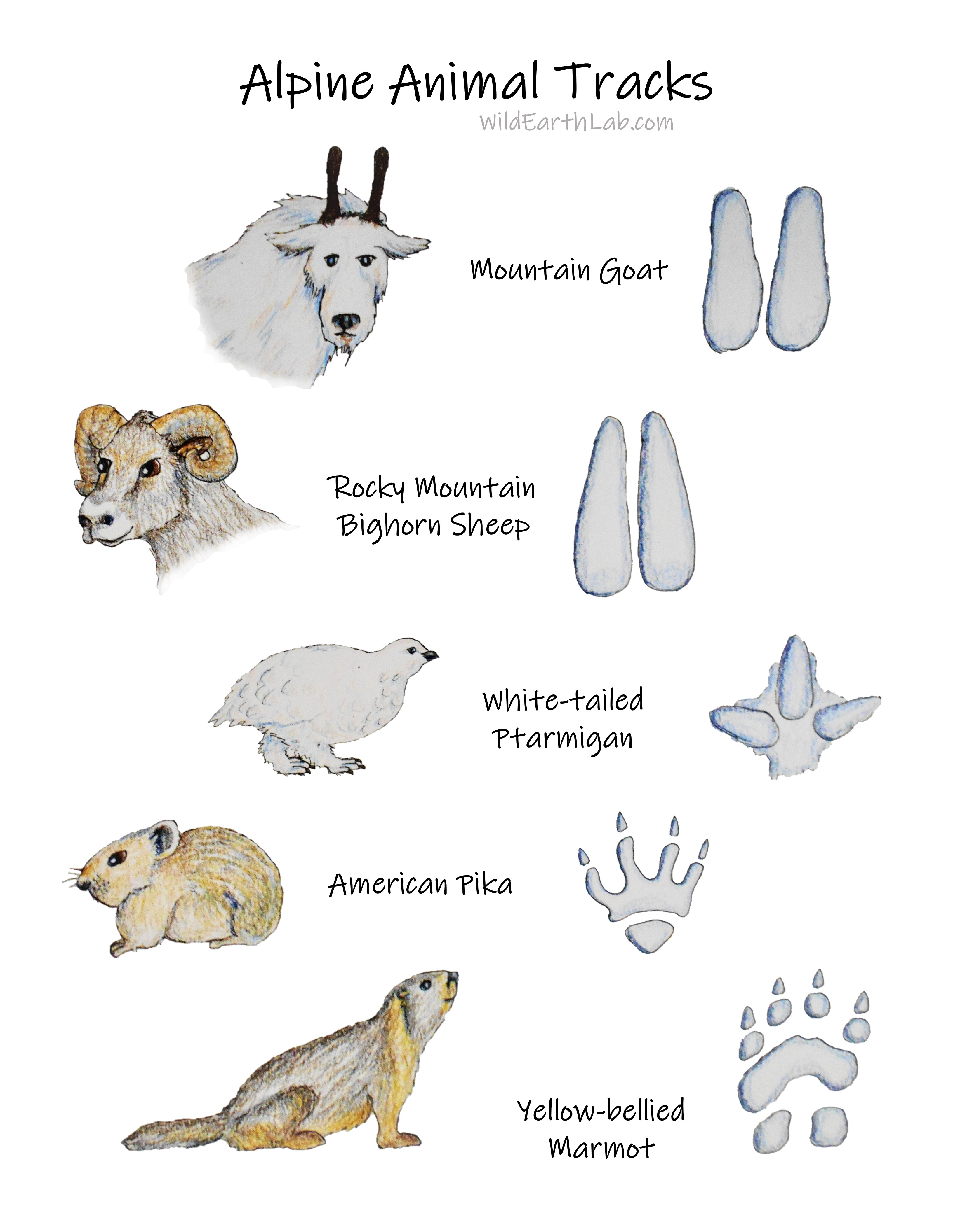 Nature learning poster with original sketches of alpine animals and their tracks. Mountain goat, Rocky Mountain bighorn sheep, white-tailed ptarmigan, American pika, and yellow-bellied marmot.