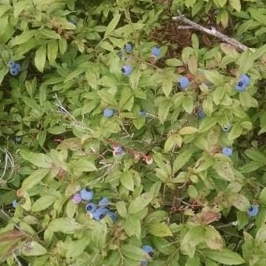 Large round blueberries growing on a dense shrub with oval-shaped green leaves.