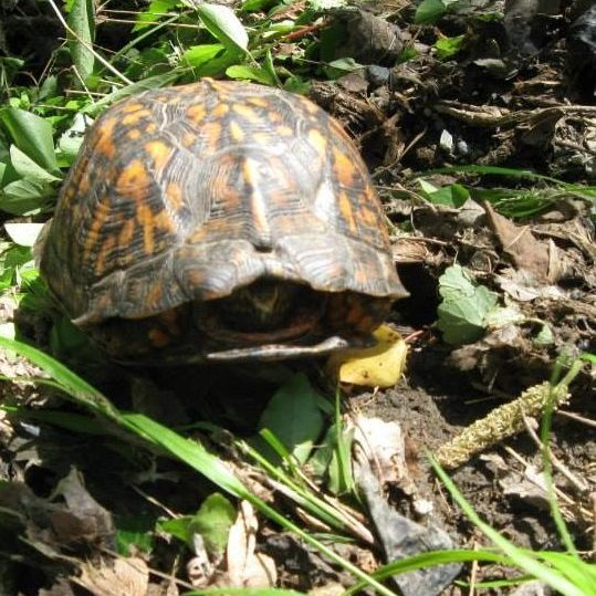 Medium sized orange and brown turtle with its head tucked into its shell.