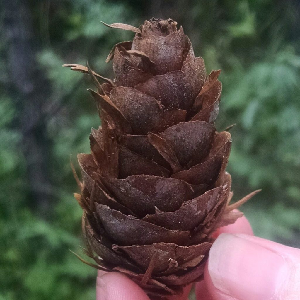 Close up of tattered, damp pinecone help up in front of a forested background.