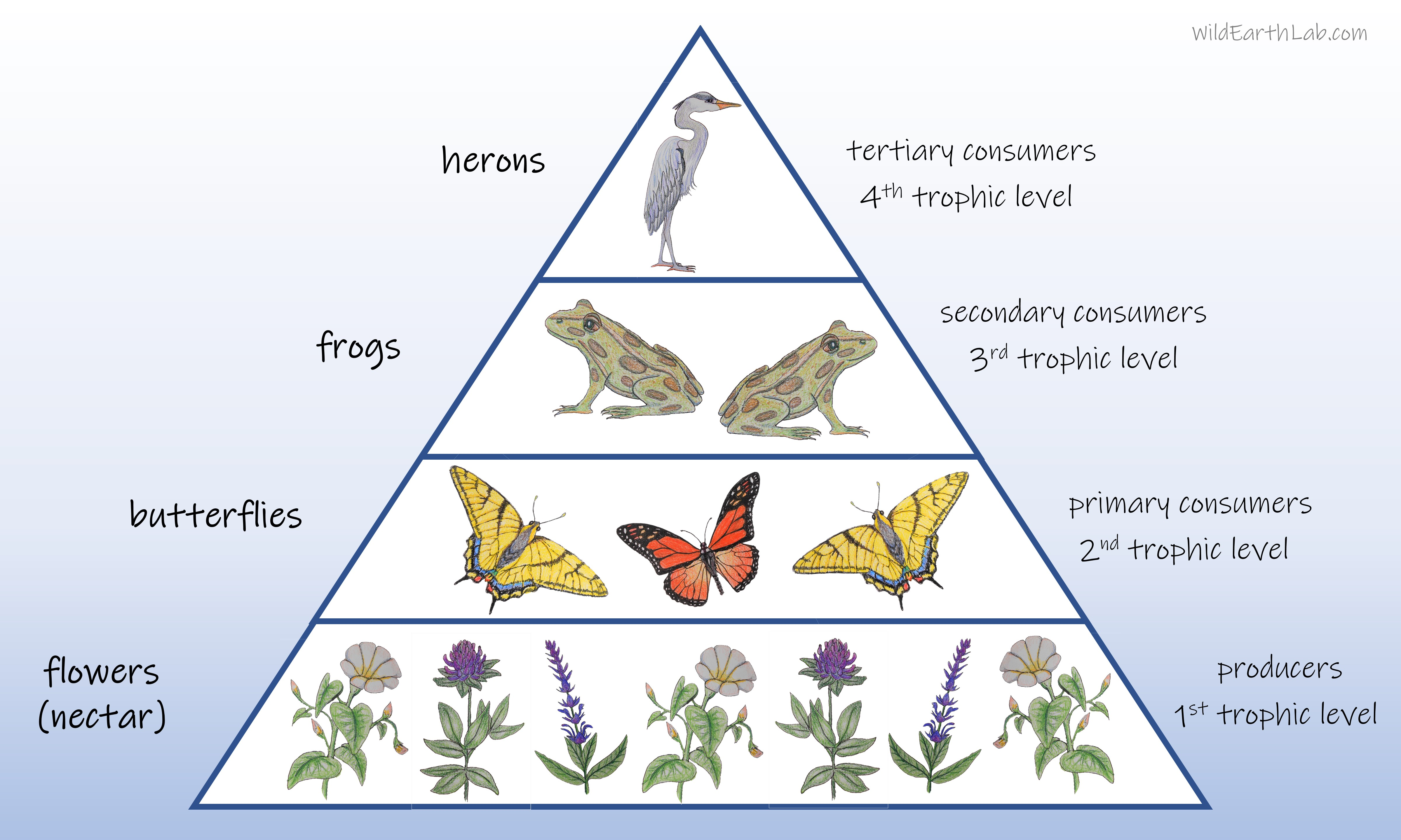A food chain pyramid diagram with labels
